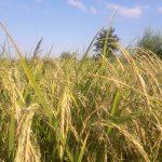 برنج هاشمی کوهپایه ای