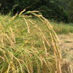 Hillside Healthy Hashemi Rice